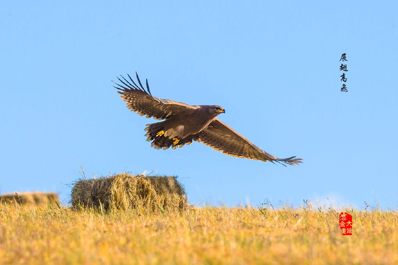 《雄鹰展翅飞》—— 草原雕