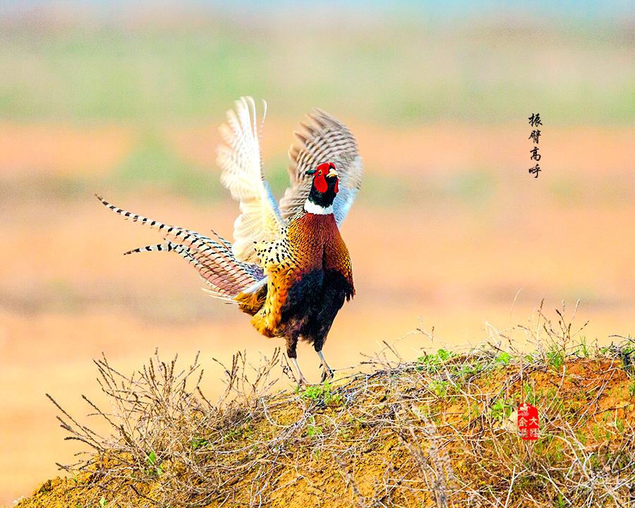 《一唱雄鸡天下白》—— 环颈雉