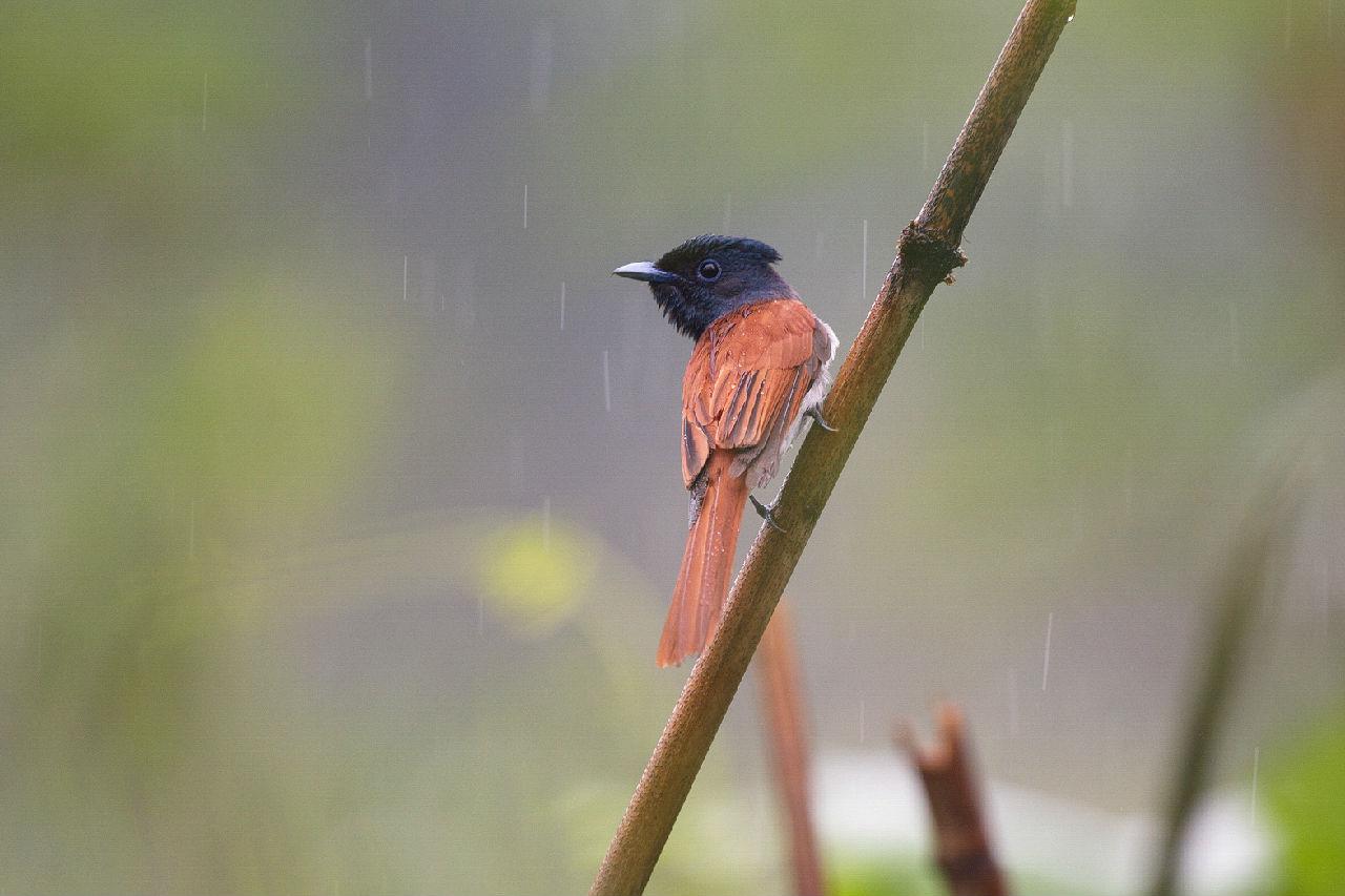 雨中的寿带